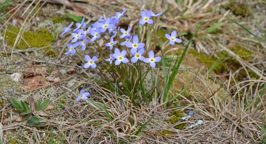 3-26-16 at Zoar cemetery bluets